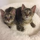 3カ月 スリゴロおチビ♂キジトラ猫カツオくん