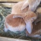 ロップ子ウサギ 4羽 生後2日月