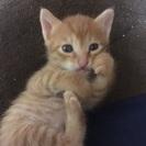 生後1ヶ月子猫の里親さん募集