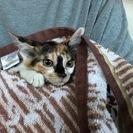鼻筋に黒い模様が入った個性的な柄の三毛猫(女の子)です。