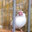 保護!白文鳥