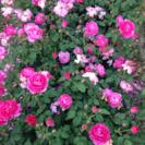 白州町でバラ作りのお手伝い     女性向きのお仕事です。