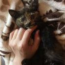 生後3ヶ月 サビ♀美猫さん里親募集
