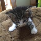 生後一ヶ月半の子猫です。後二匹、なにとぞ宜しく御願いします。