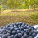 ◆ブルーベリー狩り◆飲食持ち込み自由◆恵那市観光◆ペット同伴できます◆