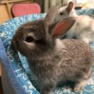 ウサギの赤ちゃん
