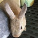 ミニウサギです。