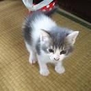 仔猫2か月 グレ-×白 オス1 メス2