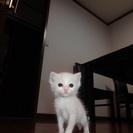 スコティッシュホールドmix 子猫