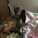 生後2〜3ヶ月の子猫3匹の里親さん探してます。