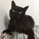 人懐っこいブラックスモークのような柄の黒猫