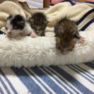 生後約1週間☆子猫