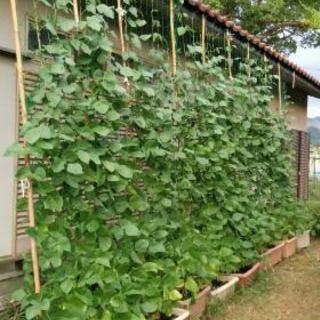 グリーンカーテンささげの苗、種を無料で差し上げます。