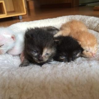 捨てられそうになった子猫たち 生後2週間 サビ・茶・白