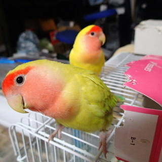 小桜インコ もう1羽います。メス