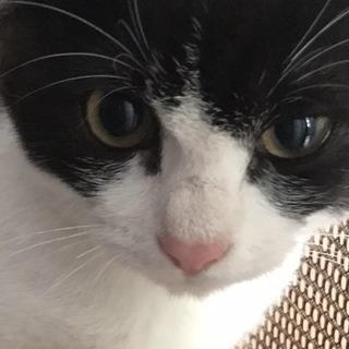 トライアル中☆黒白ハチワレの子猫ちゃん
