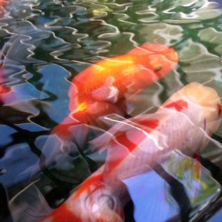 【至急】金魚あげます(メダカ〜高級魚まで全部無料)