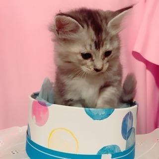サバトラのふわふわ子猫