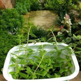 多肉植物、寄せ植えガーデニングに