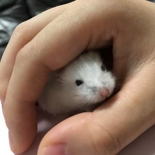赤ちゃん ジャンガリアンハムスター 3匹 白い