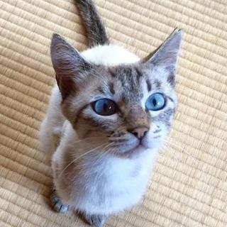 シャム系MIX ブルーアイの綺麗な女の子(仮)ミシャちゃん推定2〜3才