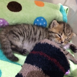 キジトラ模様の生後2~3週間の子猫です。
