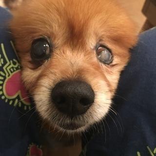 ポメちゃんの女の子 老犬です