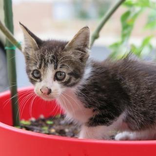 急募!!生後1-2ヶ月の子猫です。