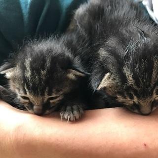 八戸市 生後10日ほど 子猫2匹里親募集