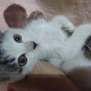 8月27日(日)❤️子猫の譲渡会に出します。グレー白の男の子 生後...