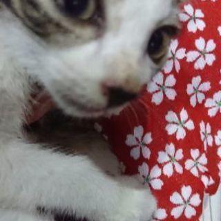 8月27日(日)❤️子猫の譲渡会に出します。キジシロ女の子 生後1...