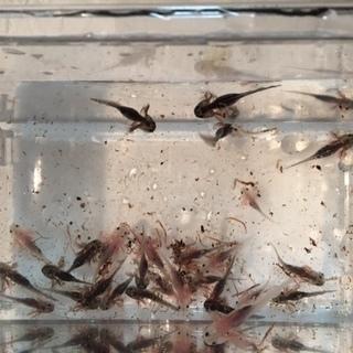 ウーパールーパー 稚魚 15匹ほど