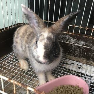 生後2カ月の子ウサギ