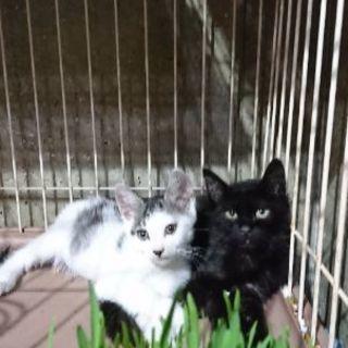 黒猫長毛生後3ヶ月男の子❤️8月27日(日)の譲渡会に出します。