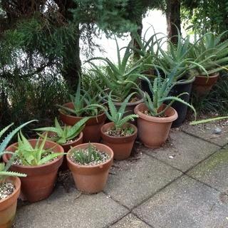 アロエ、シュンラン、オモトの鉢植え
