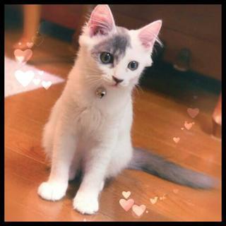 3ヶ月グレー白♀の美猫里親様募集