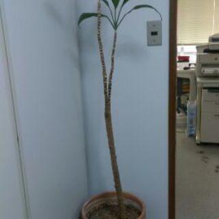 観葉植物、160cmくらい、鉢は陶器製