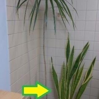 観葉植物、たぶん虎の尾かと、高さ1...