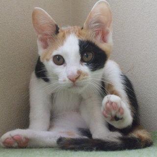 ❤三毛猫のゆりちゃん 3ヶ月です❤