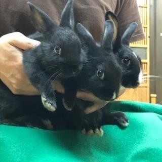 黒ウサギ3匹里親募集