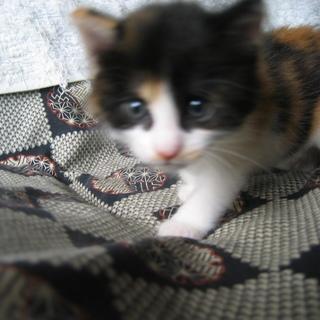 三毛子猫7月4日生まれメスの里親募集