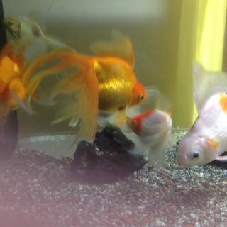 金魚あげます
