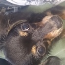 チワワとダックスのミックス犬です。