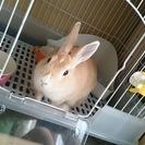 ピーターラビットみたいな顔立ちのミニウサギ♀