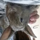 ミニウサギの赤ちゃんの里親さん探してます!