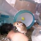 砂ネズミ(♂)三匹