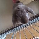 ポーランドロップウサギ