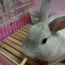 ミニウサギの男の子、1才です
