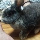 ミニウサギ引っ越しの為もらってください