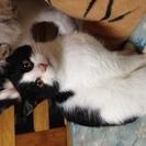 白黒日本猫子猫ちゃん!